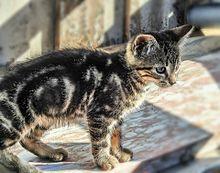アメショー子猫の画像(アメリカンショートヘアーに関連した画像)