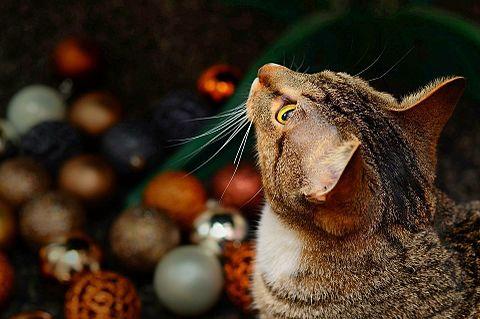 クリスマスの猫の画像(プリ画像)