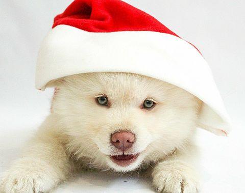 クリスマスのワンコの画像(プリ画像)