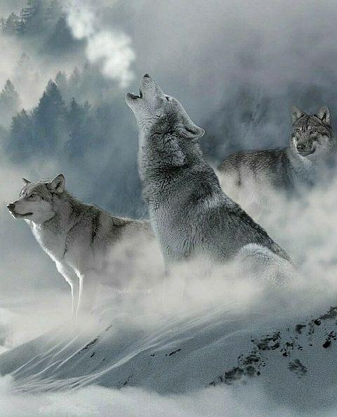 冬のオオカミ🐺の画像 プリ画像