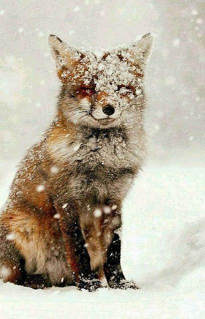 雪原のアカギツネの画像 プリ画像