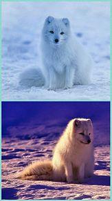 画像タップしてね👆ホッキョクギツネの画像(北極に関連した画像)