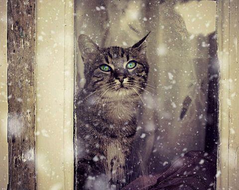 降る雪を眺める猫の画像 プリ画像