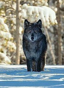 冬の狼🐺の画像(動物/野生に関連した画像)