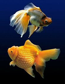夏金魚の画像(淡水魚に関連した画像)