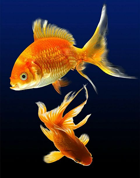 夏金魚の画像 プリ画像