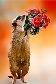 ミーアキャットから花束💐の画像(動物に関連した画像)