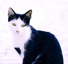 黒白カツラ猫の画像(動物に関連した画像)