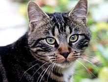 キジトラ猫の画像(動物に関連した画像)