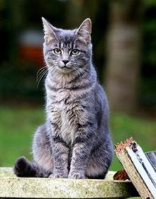 サバトラ猫の画像(動物に関連した画像)