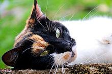 三毛猫の画像(動物に関連した画像)