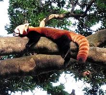 動物園のレッサーパンダ🦝 #実写の画像(レッサーパンダに関連した画像)