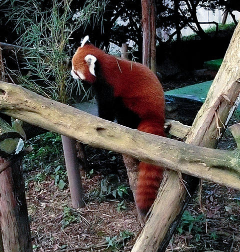 動物園のレッサーパンダ🦝 #実写の画像 プリ画像