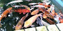 動物園の鯉 #実写の画像(動物に関連した画像)