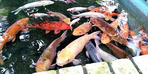動物園の鯉 #実写の画像 プリ画像