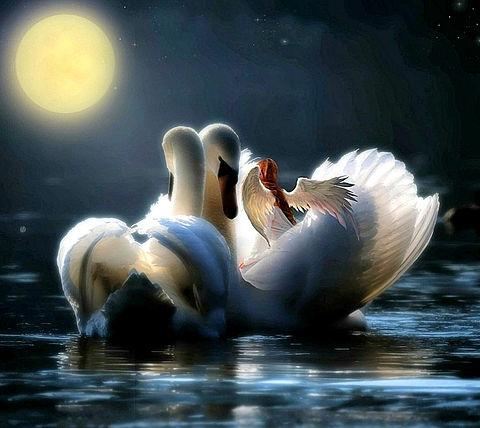 白鳥のペア🦢🦢の画像 プリ画像