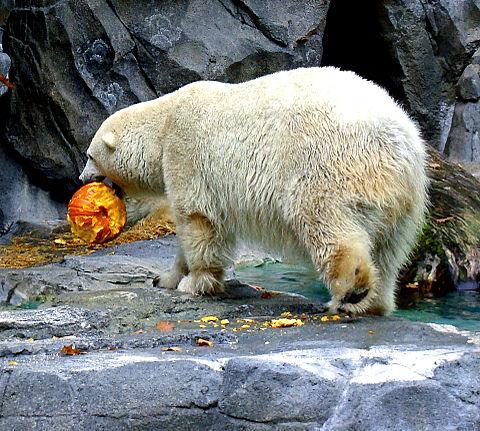 白熊さんのハロウィン🎃の画像(プリ画像)