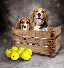 ヴィーグル犬 プリ画像