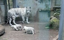 ホワイトタイガーの赤ちゃん プリ画像
