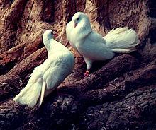 白鳩のペア🕊️💞🕊️の画像(ハトに関連した画像)