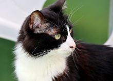 猫の日🐈️黒白ハチワレ猫さんの画像(猫の日に関連した画像)