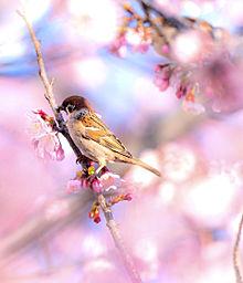 桜の木に雀の画像(すずめに関連した画像)