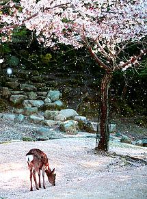 宮島の鹿と桜の画像(鹿に関連した画像)