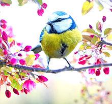 桜の木に青雀(アオガラ) プリ画像
