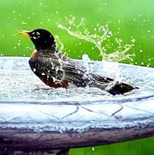 野鳥の水浴び プリ画像