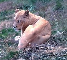サファリパーク🦁雌ライオンの画像(獣に関連した画像)
