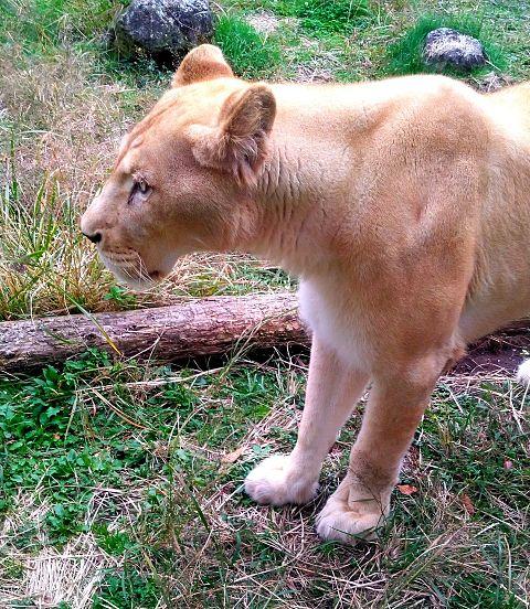 サファリパーク🦁雌ライオンの画像(プリ画像)