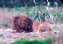 サファリパーク🦁雄ライオン プリ画像