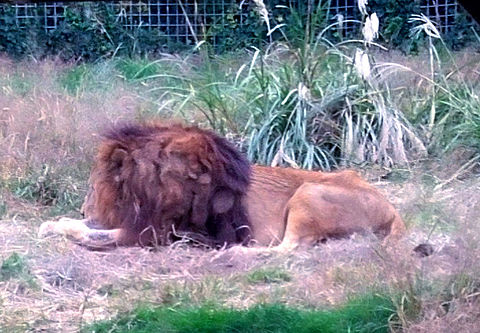 サファリパーク🦁雄ライオンの画像(プリ画像)