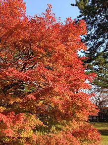 京都御所の紅葉の画像(京都 紅葉に関連した画像)