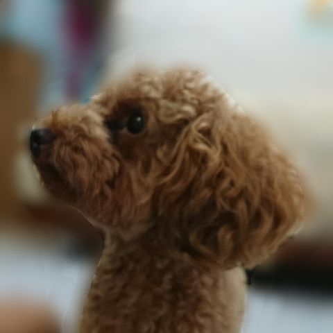 愛犬クッキー♥の画像(プリ画像)