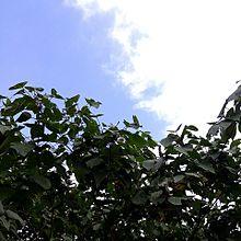 空と木  連続投稿その2 サイズ変換済みの画像(プリ画像)