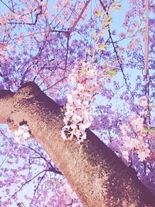 桜の画像(占いに関連した画像)
