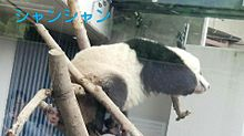上野動物園   パンダ   シャンシャンの画像(可愛い パンダに関連した画像)