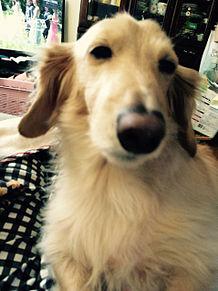 我が家の犬画像(しょうちゃん)の画像(プリ画像)