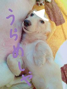 我が家の犬(エルちゃん)の画像(プリ画像)