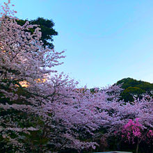 桜🌸の画像(お花見に関連した画像)