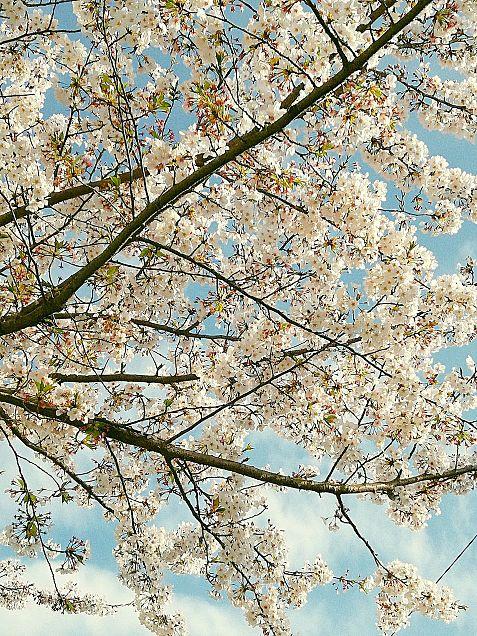 桜  🌸の画像(プリ画像)