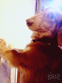 壁ドン犬の画像(プリ画像)