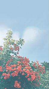 実際の写真を、加工しました!  薔薇です。🌹 プリ画像