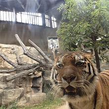 動物園の虎の画像(プリ画像)