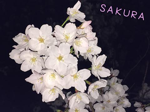 夜桜🌸の画像(プリ画像)