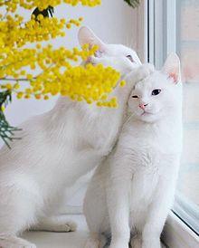 猫の画像(白い猫に関連した画像)
