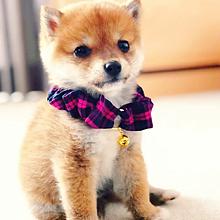可愛い 柴犬の画像172点完全無料画像検索のプリ画像bygmo