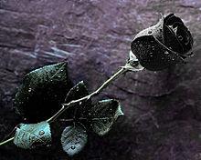 黒い薔薇の画像(プリ画像)