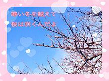 桜の木…の画像(プリ画像)